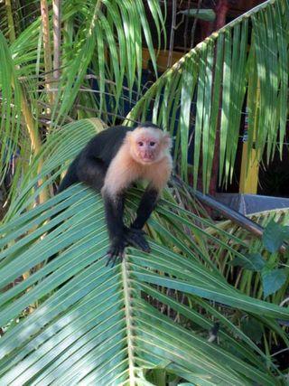 Heredia_monkey