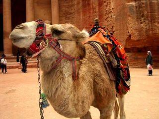 Jordan_Petra_camel2